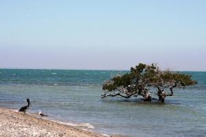 Mangle, Bahía Magdalena,BCS