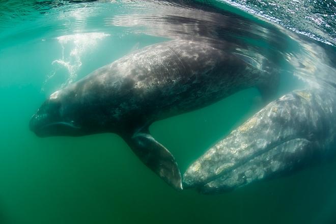 Grey Whale (Eschrichtius robustus) with calf, San Ignacio Lagoon, El Vizcaino Biosphere Reserve, Baja California, Mexico, March