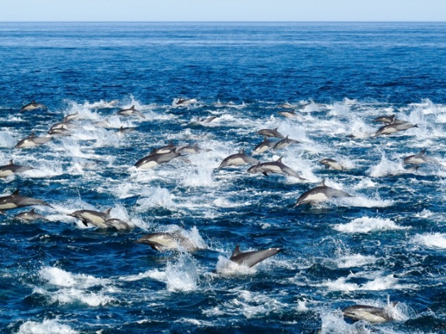 Delfines california