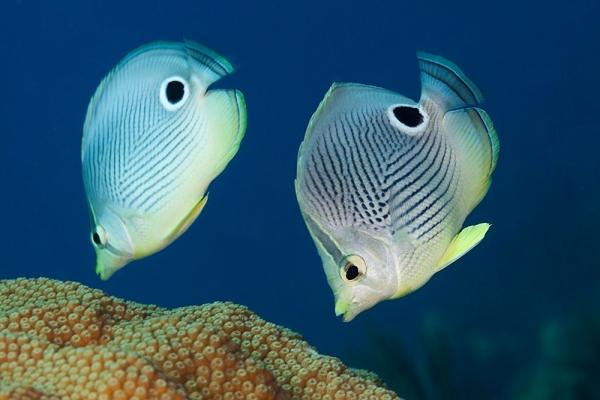 Pareja de peces mariposa de cuatro ojos alimentándose en un arrecife cubano