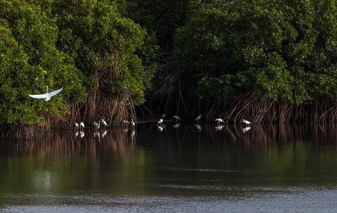 BAJA0F6A1814Aves acuaticas y manglar
